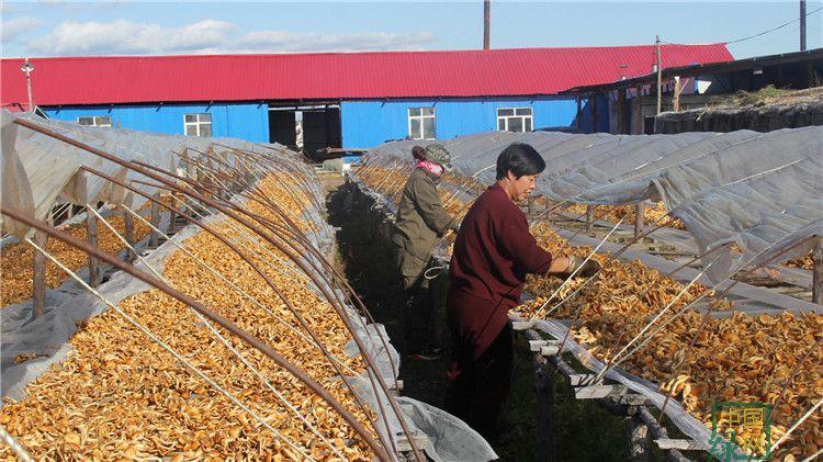 吉文林业局蘑菇种植喜获丰收