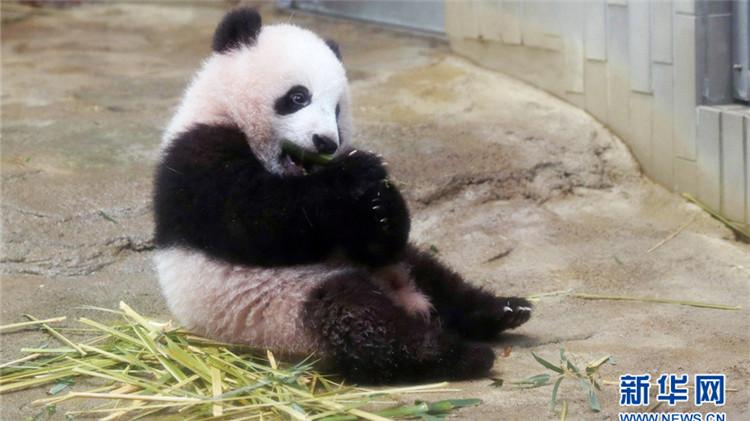 暌违29年!日本上野动物园熊猫宝宝将首度亮相