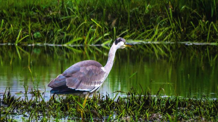 苍鹭落户乌局兴安里湿地保护区