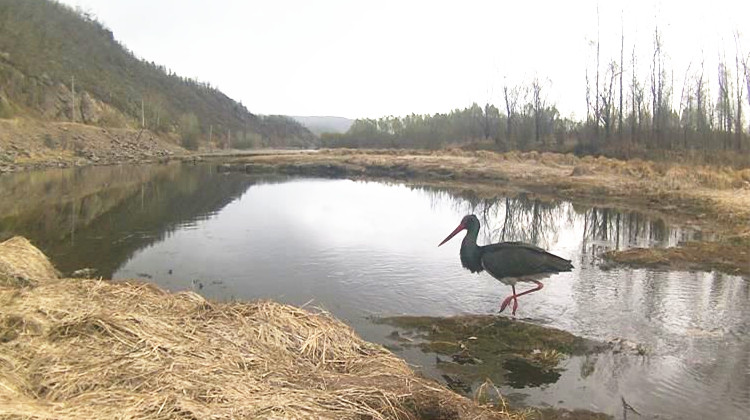 吉文林业局发现国家一级保护鸟类黑鹳