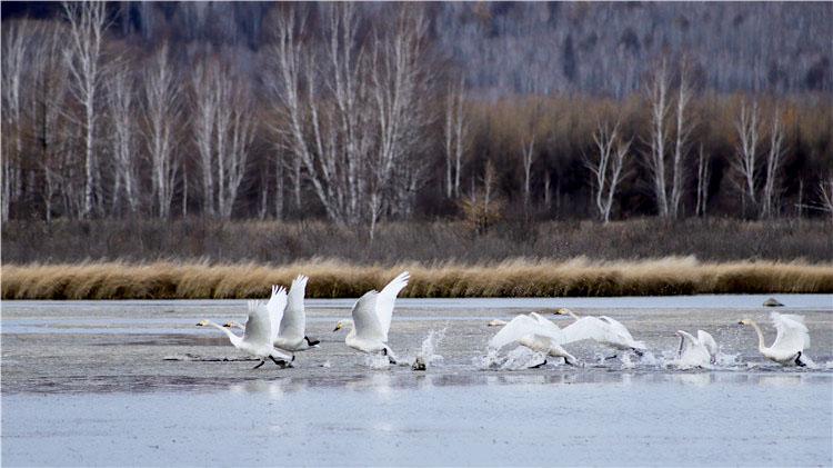 库都尔河国家湿地公园出现14只野生白天鹅