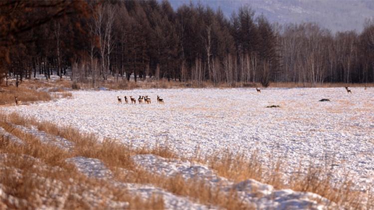 寒冬时节 24只狍子集体觅食