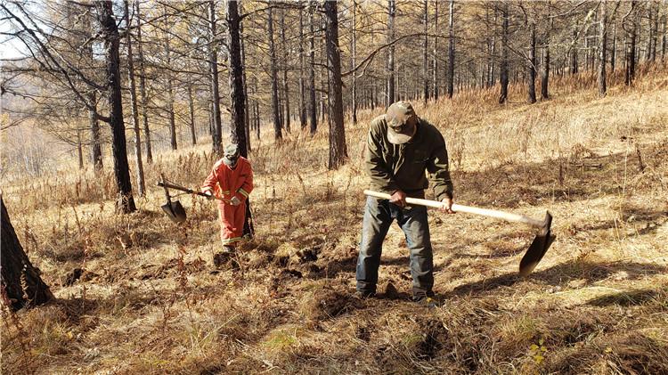 绰源林业局梨子山林场全员齐上阵开展森林经营