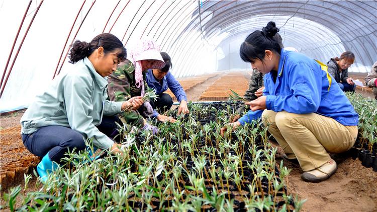 库都尔林业局原林苗圃开展大果沙棘嫩枝扦插苗培育