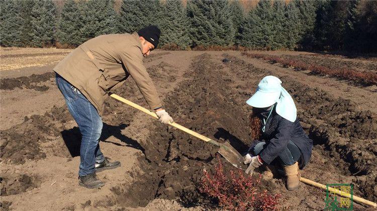 毕拉河林业局确保蓝莓越冬防寒