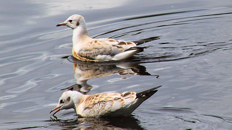 满归林业局自然保护区湿地发现鸥鸟种群