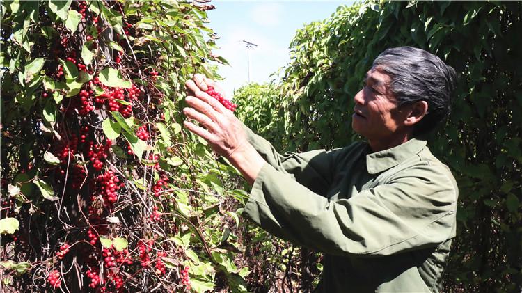 吉文林业局种植户种植的北五味子喜获丰收