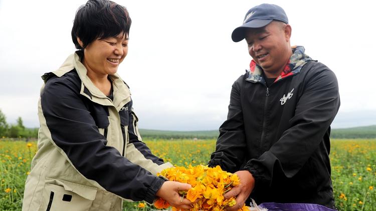 库都尔林业局职工人工栽培的金莲花竞相怒放