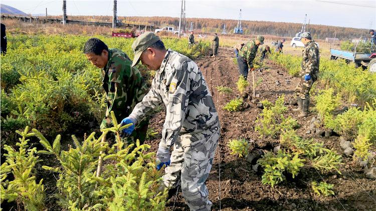 绰源林业局对中心苗圃6.5万株云杉苗木进行换床