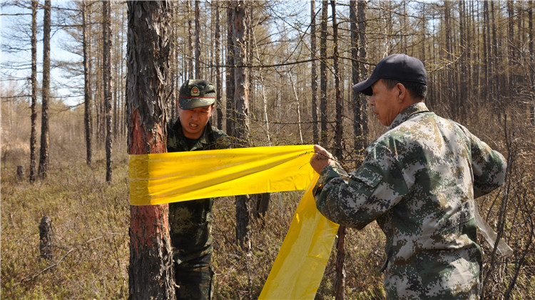 图里河林业局开展落叶松毛虫监测调查工作
