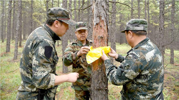 图里河林业局开展落叶松毛虫幼虫下树越冬情况进行调查